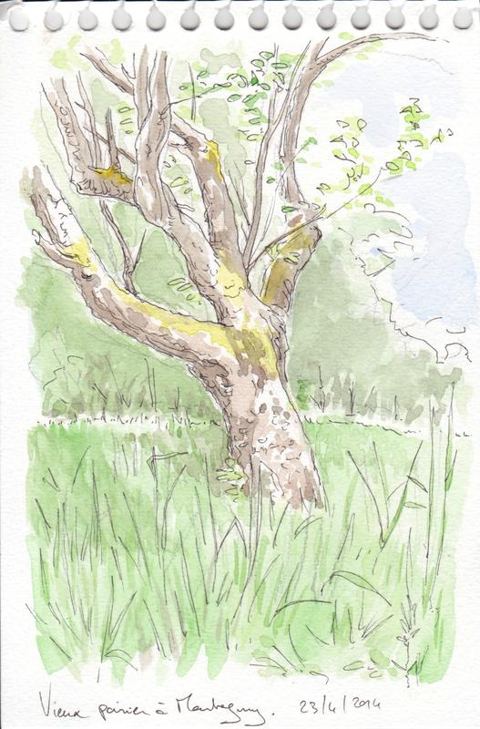 vieux poirier au printemps